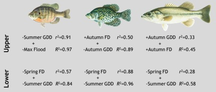 Figure 2.  Best multiple-regression models describing growth of bluegill (left), black crappie (middle), and largemouth bass (right) in the upper and lower Illinois River.  GDD = growing degree days, FD = flood days.  The first factor listed for each species (with r2) was the best single factor; the second factor listed (with R2) was the best complementary factor not from the same suite of variables (hydrological, climatological, and biological).