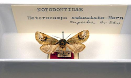 Holotype from the Bolter collection