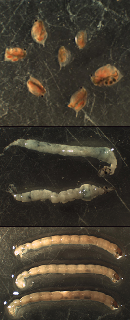 Photo 3.  Various sizes of Daphnia used in a single prey study (top).  Dorsal and lateral view of Chaoborus used in a multiple prey study (middle) and an example of Chironomus used in a multiple prey study.
