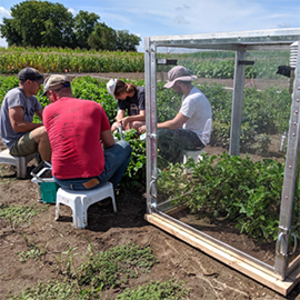 A team led by Anthony Digrado collects data from the cowpea population. A canopy enclosure is used to measure gas exchange and identify which plant traits most strongly affect canopy photosynthesis.
