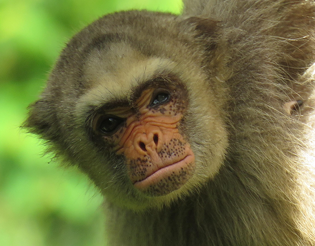 Primates such as this northern muriqui in Brazil is critically endangered, according to authors of a new study.