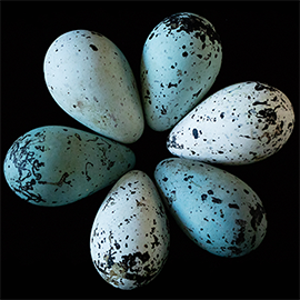 the unique conical shape of thick-billed murre eggs