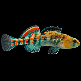 orangethroat darter fish