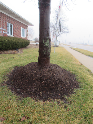 Mulch improperly applied in a muffin shape around base of tree.