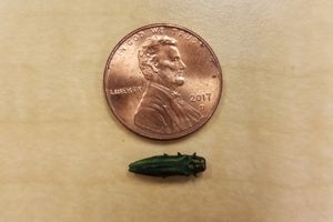 The emerald ash borer is an exotic insect that has infected and killed native ash trees throughout the Midwest.