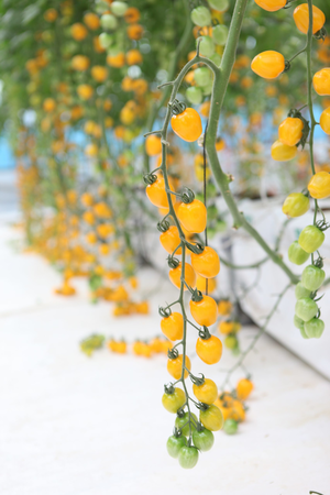 yellow cherry tomatoes growing on plant