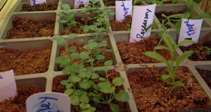 Growing herbs from seed at home is easy and saves money.