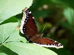 Mourning cloak buttterfly