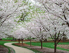 The Cherry Allee in bloom