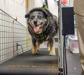 Olive gets a workout on a land treadmill as part of her therapy.